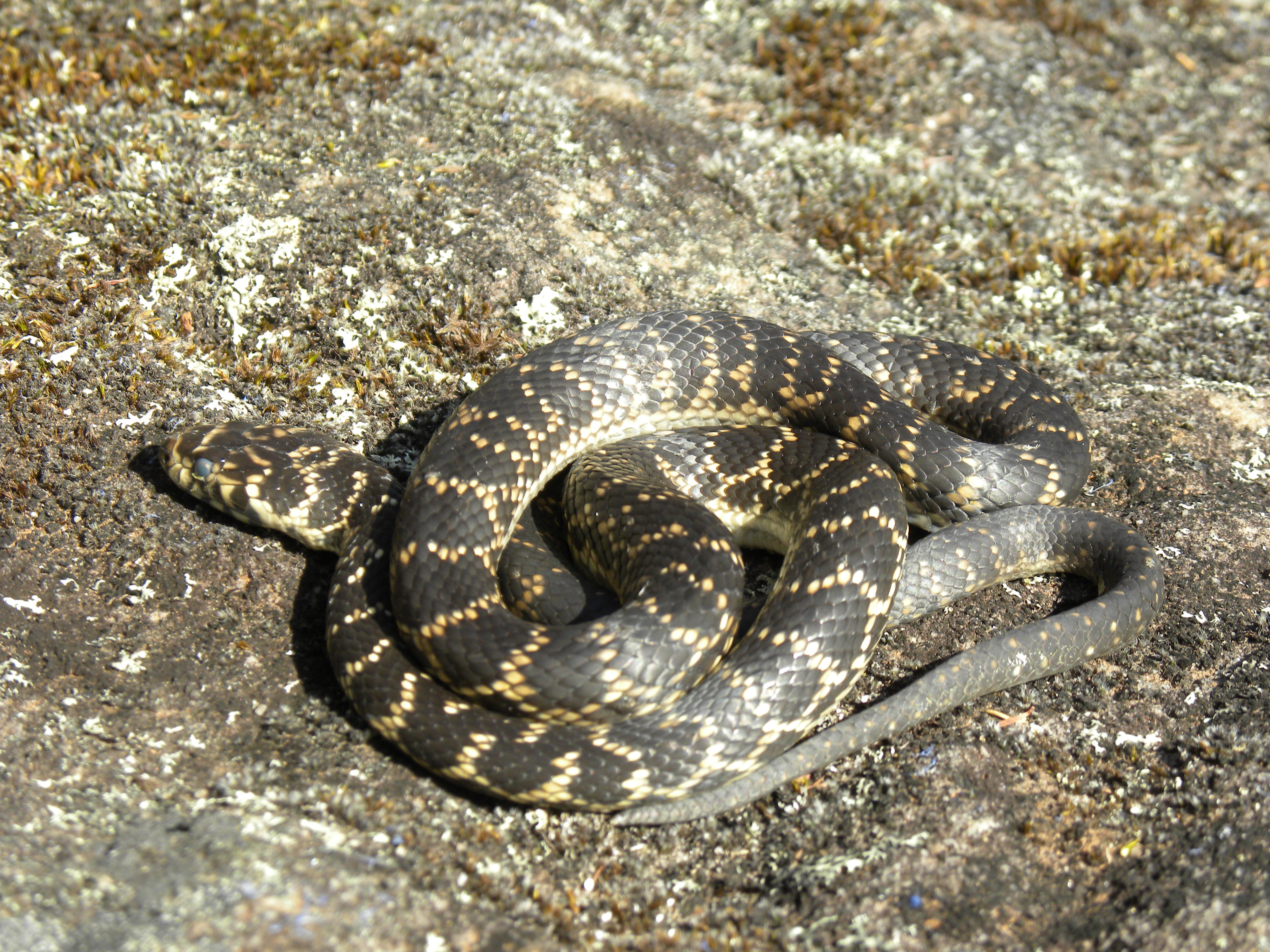 Image of Broad-headed Snake