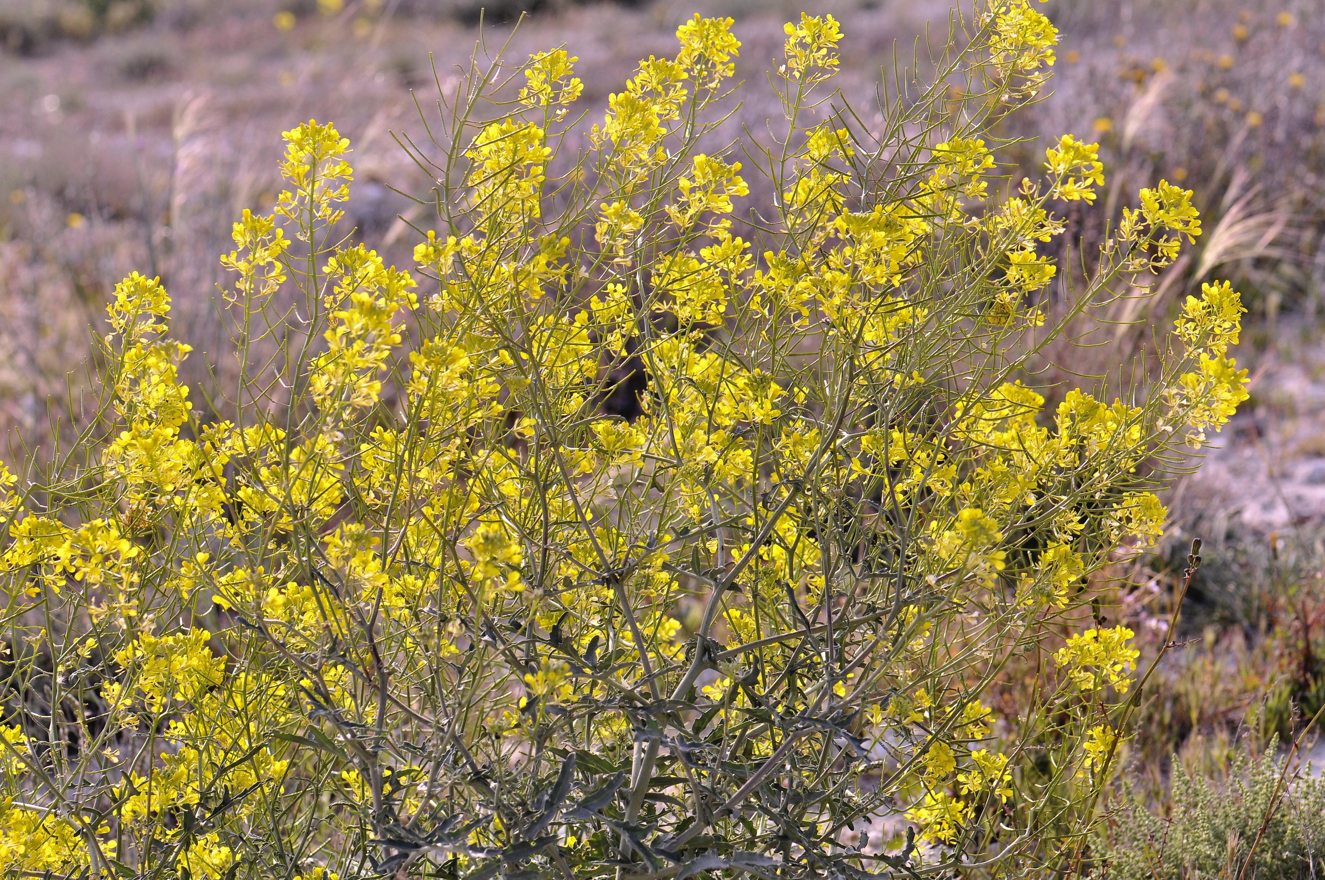 Image of <i>Erucastrum nasturtiifolium</i> (Poir.) O. E. Schulz