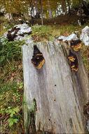 Image of <i>Gloeophyllum odoratum</i> (Wulfen) Imazeki 1943
