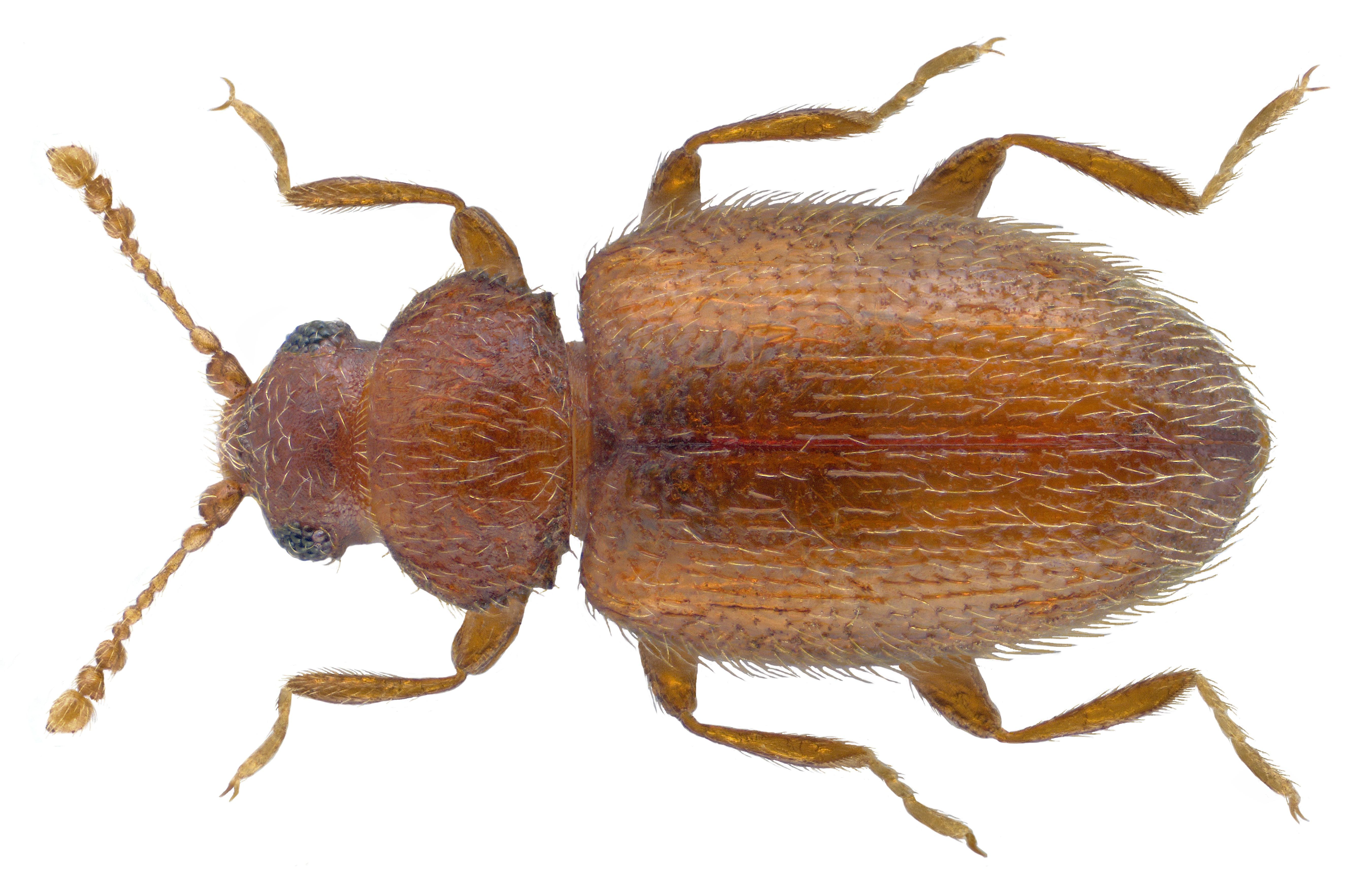 Image of <i>Migneauxia lederi</i> Reitter 1875