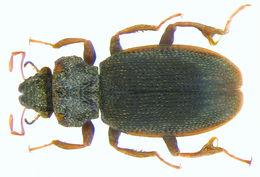Image of <i>Hydraena sharmai</i>