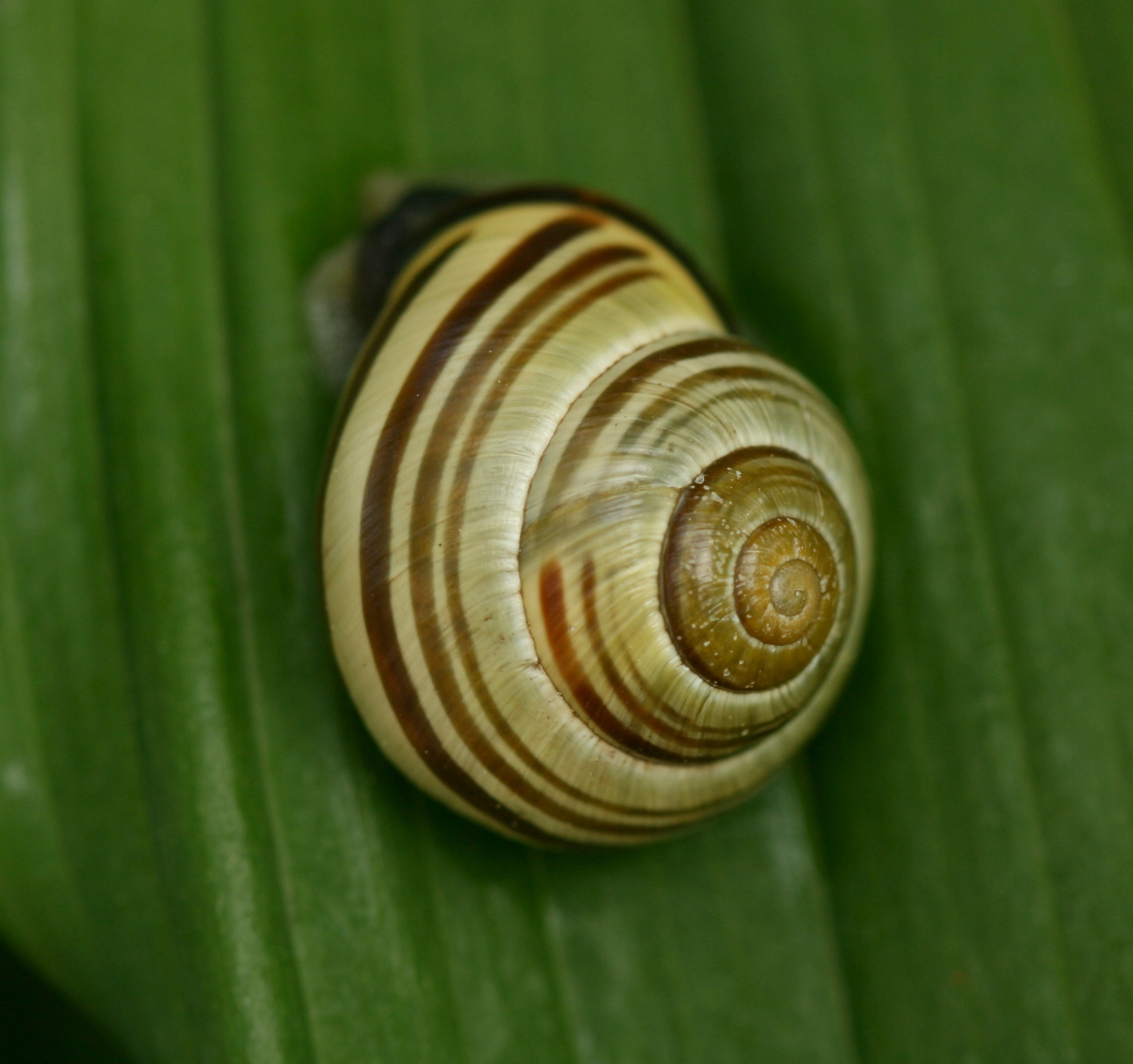 Image of Brown Lipped Snail