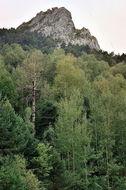 Image of Common Aspen
