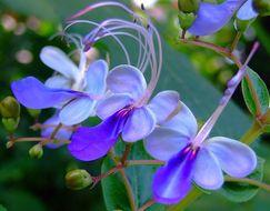 Image of <i>Clerodendrum ugandense</i>