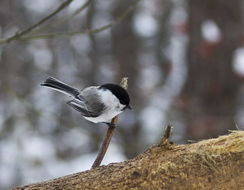 Image of Willow Tit