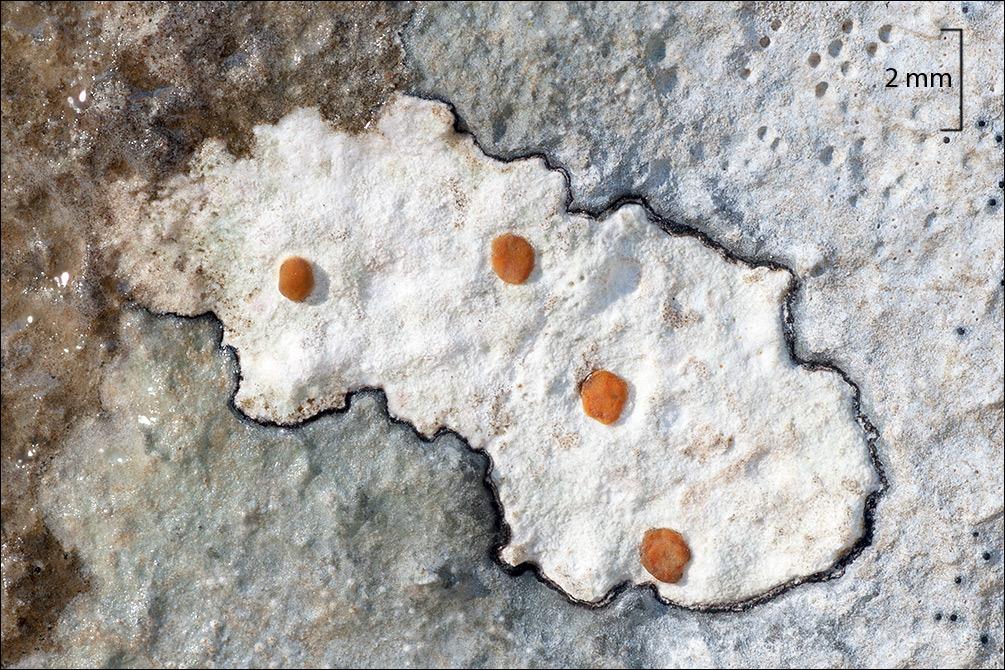 Image of protoblastenia lichen