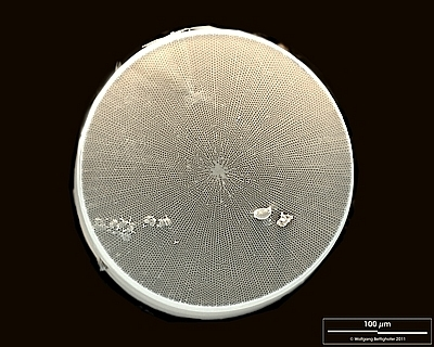 Image of Diatom