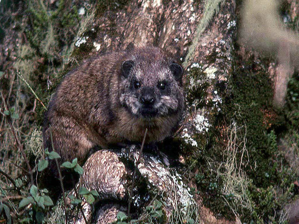 Image of Southern Tree Hyrax
