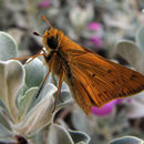 Image of Fiery skipper