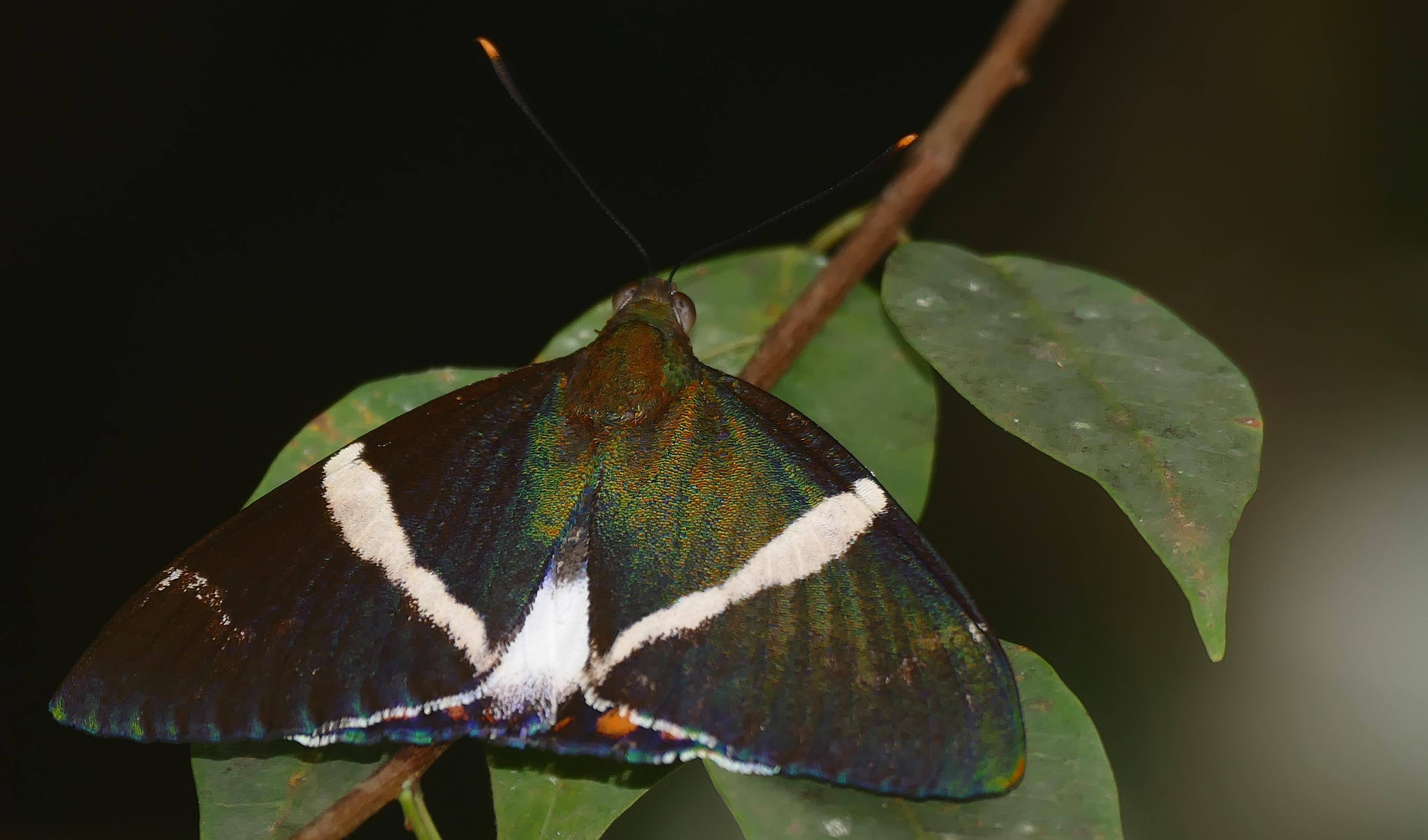 Image of <i>Telchin licus</i>