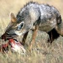 Image of golden jackal