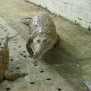 Image of Oronico crocodile