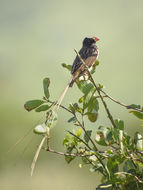 Image of Straw-tailed Whydah