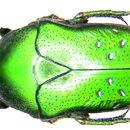 Image of <i>Dymusia variabilis</i> Moser 1915
