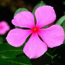Image of periwinkle