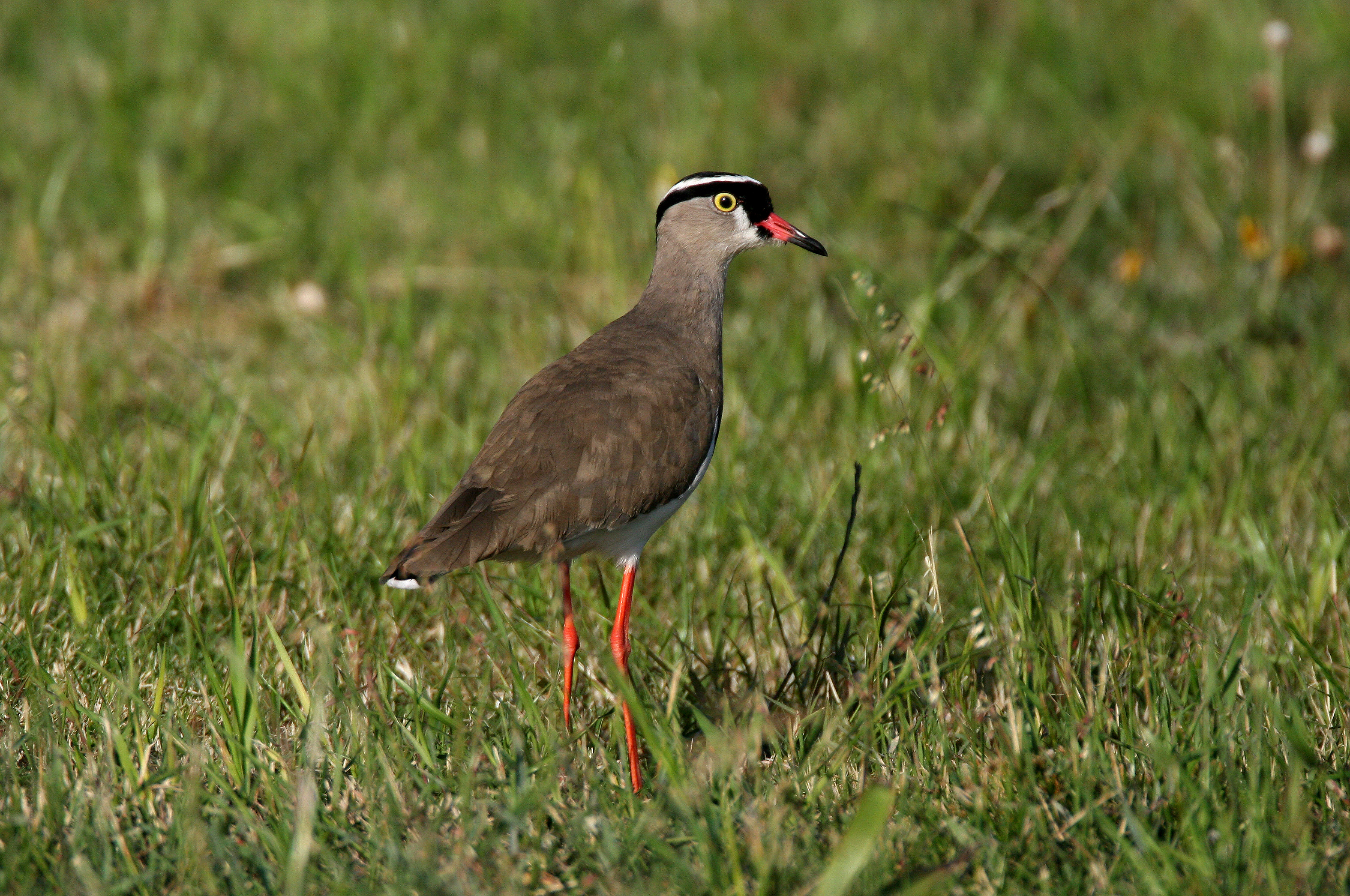 Image of Crowned Lapwing