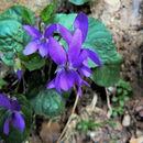Image of <i>Viola <i>alba</i></i> ssp. alba