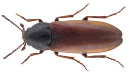 Image of <i>Xylita laevigata</i> (Hellenius 1786) Hellenius 1786
