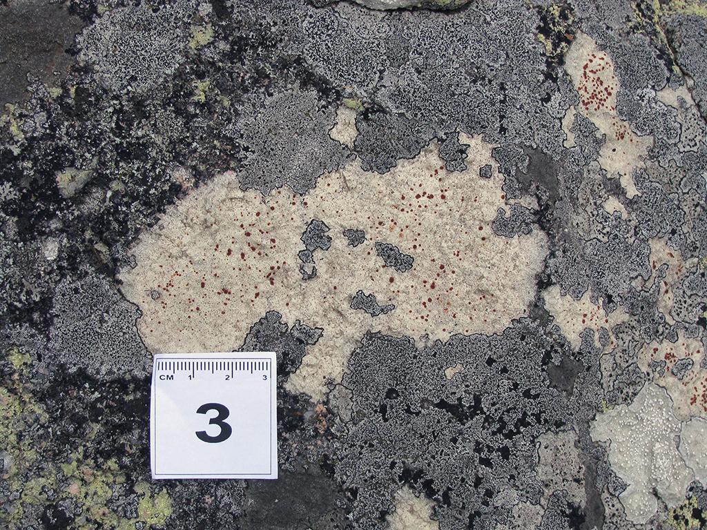 Image of <i>Ramboldia haematites</i>