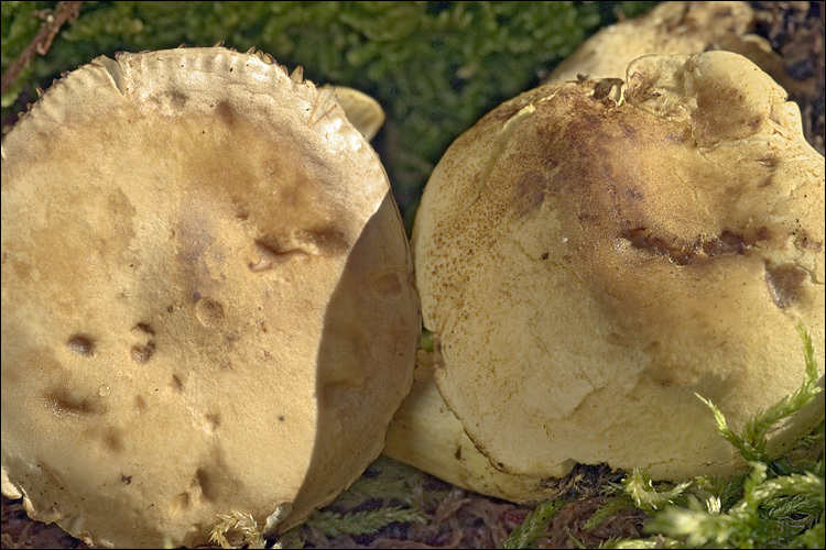 Image of Gas agaric