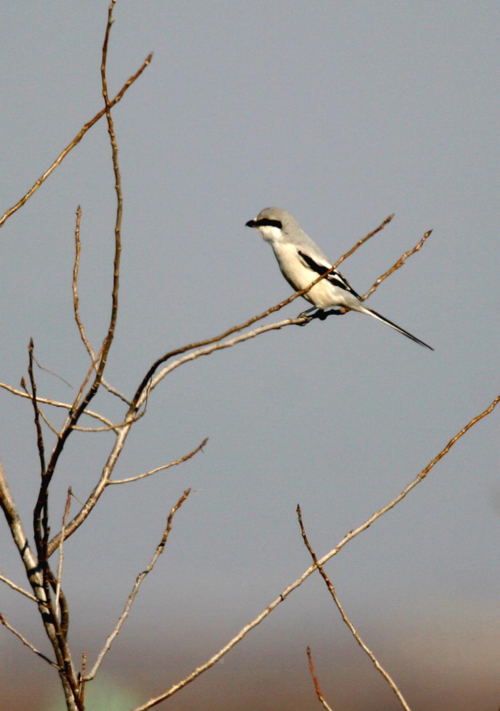 Image of Chinese Grey Shrike