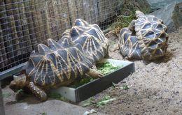 Image of Burmese Starred Tortoise