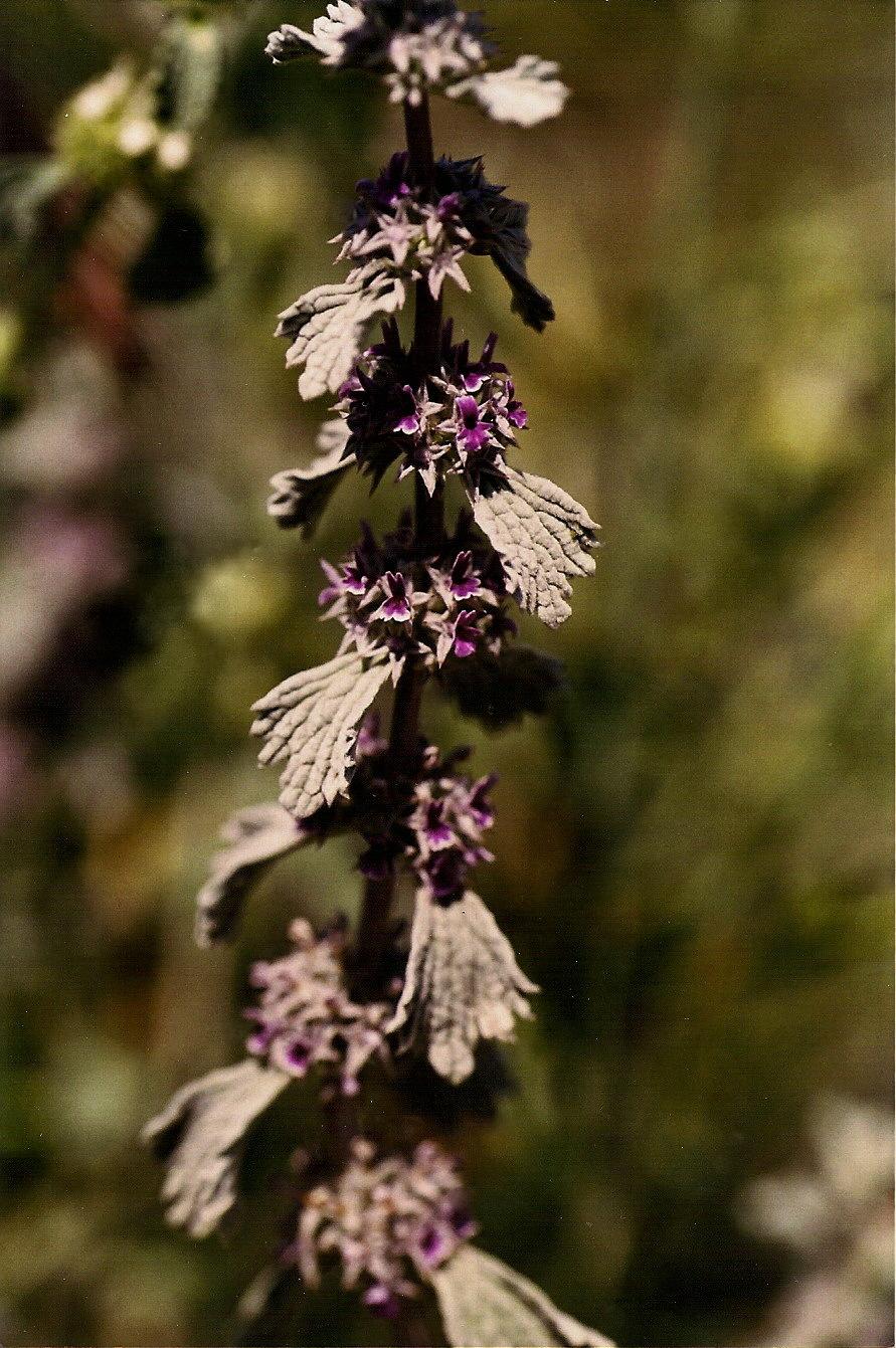 Image of <i>Marrubium alysson</i> L.