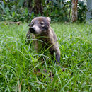 Image of White-nosed Coati