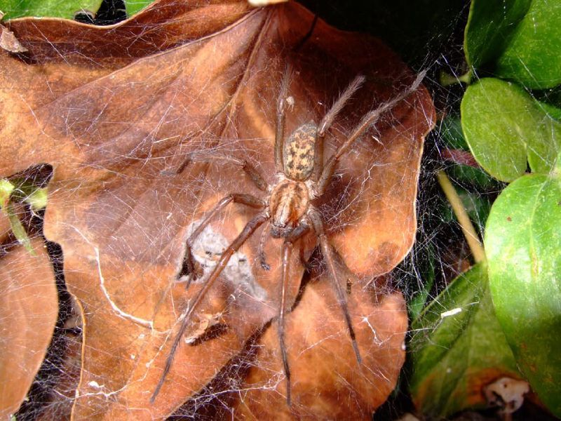 Image of Domestic house spider
