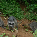 Image of Crab-eating Raccoon