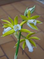 Image of <i>Phaius tankervilleae</i> var. <i>alba</i>