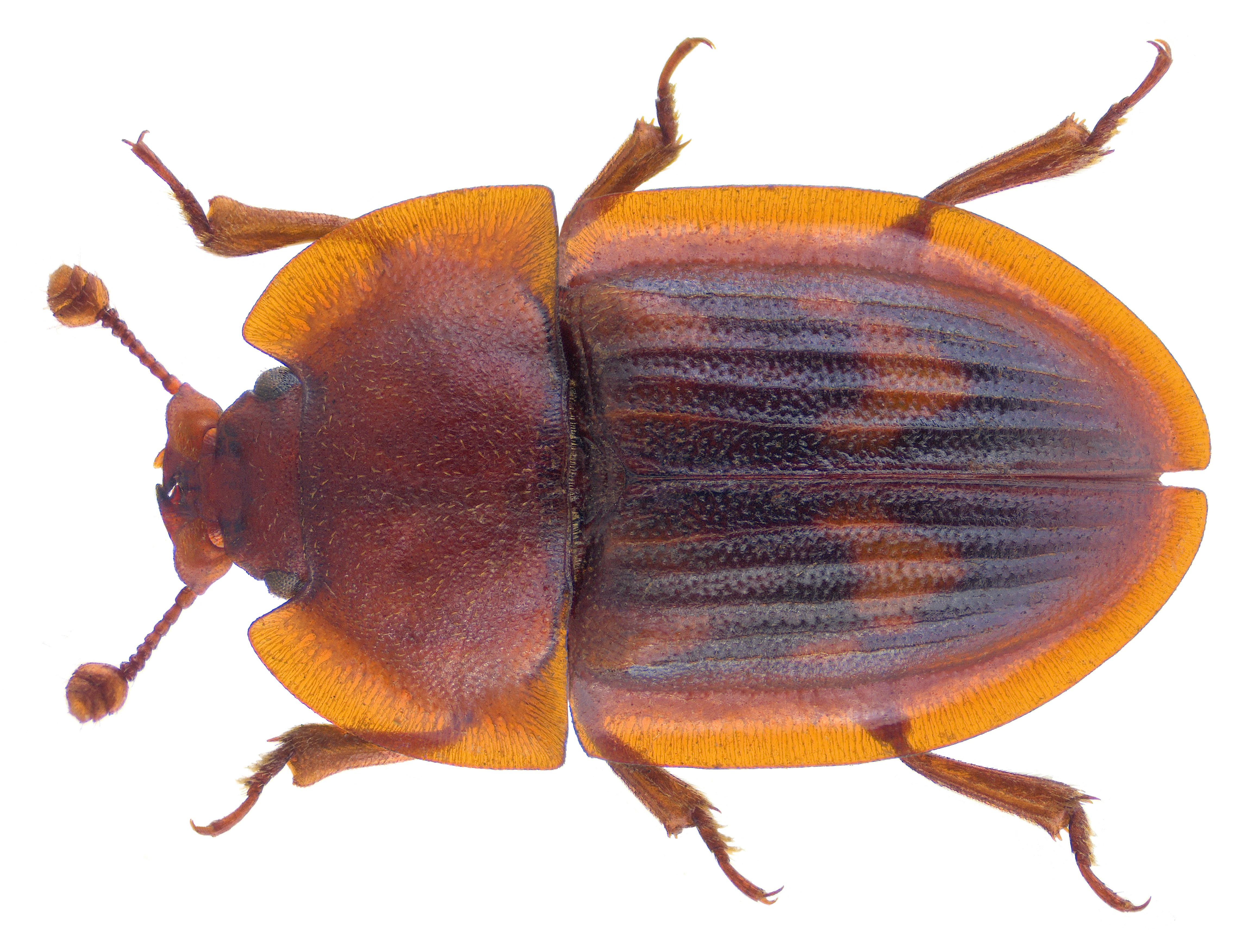 Image of <i>Amphotis marginata</i> (Fabricius 1781) Fabricius 1781