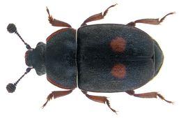 Image of <i>Nitidula bipunctata</i> (Linnaeus 1758)