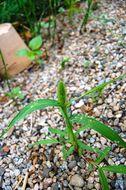 Image of green bristlegrass