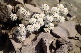 Image of <i>Pritzelago alpina</i>