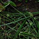 Image of <i>Kyllinga brevifolia</i> Rottb.