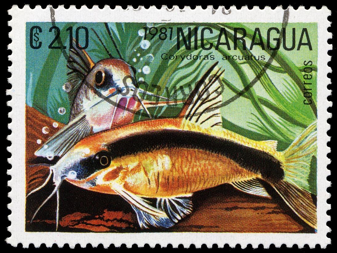 Image of <i>Corydoras arcuatus</i> Elwin 1938