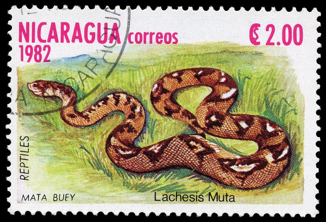 Image of <i>Lachesis mutus</i>