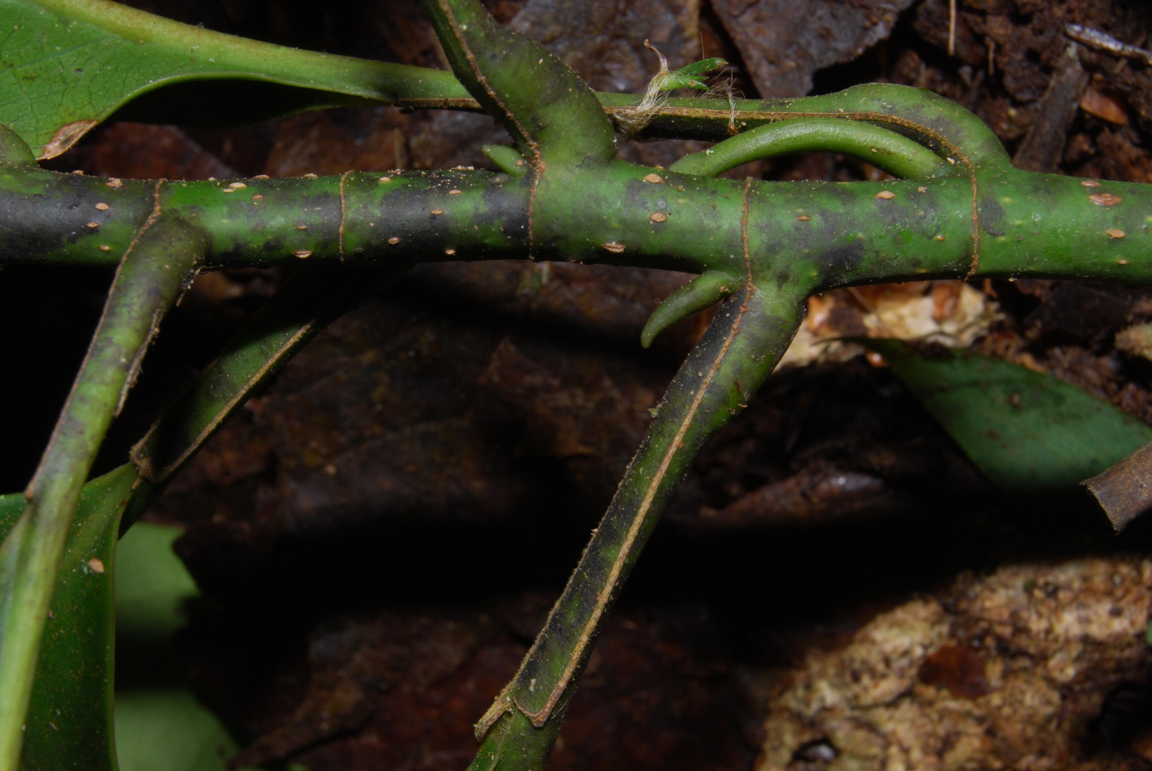 Image of <i>Talauma gloriensis</i>