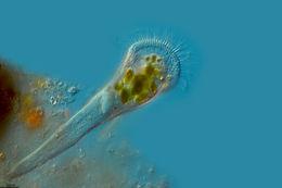 Image of <i>Stentor igneus</i>