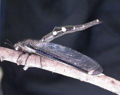 Image of <i>Stilbopteryx walkeri</i> Kimmins 1940
