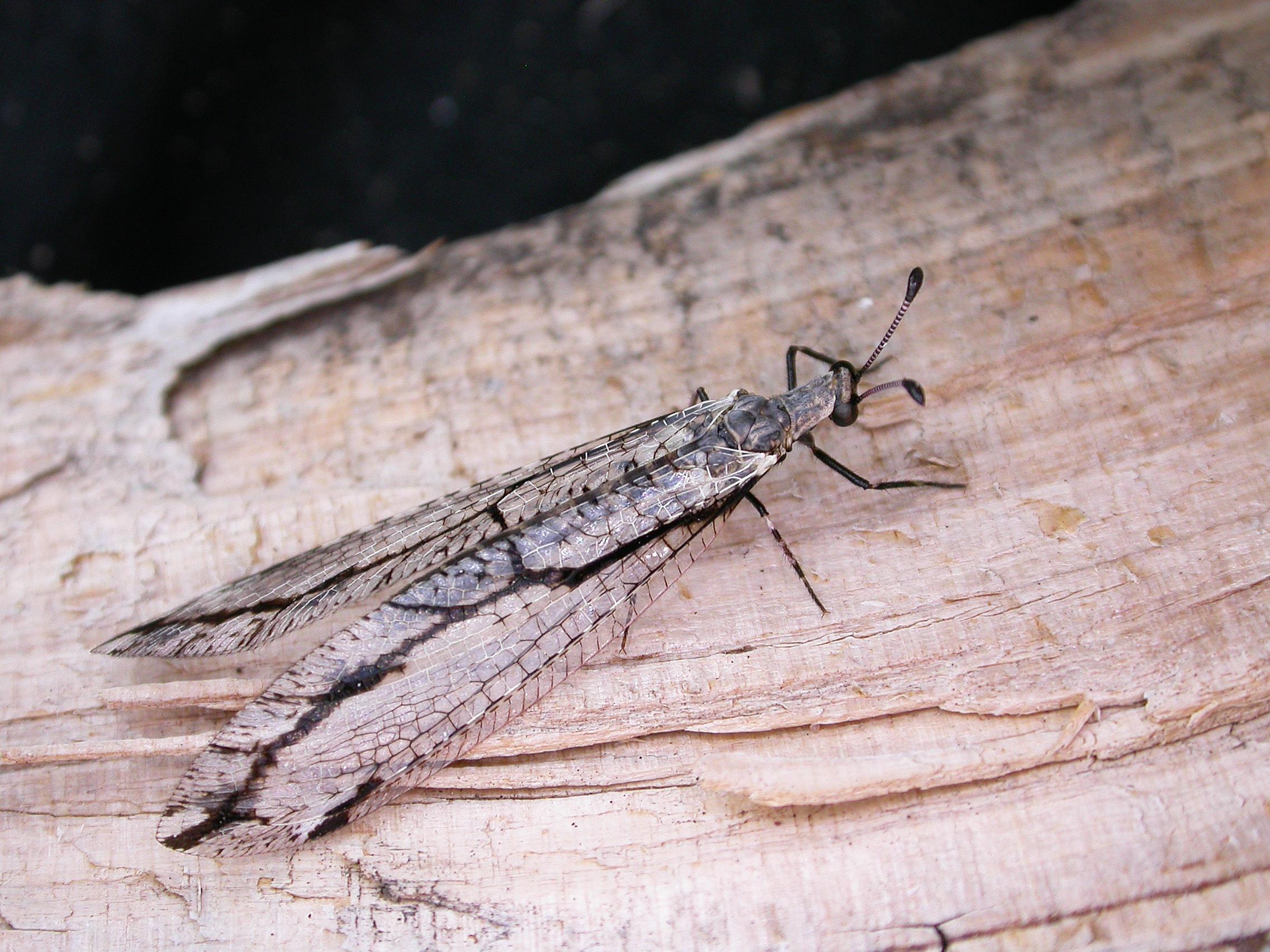 Image of <i>Austrogymnocnemia edwardsi</i> New 1985