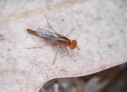 Image of <i>Nanexila vittata</i> Winterton & Irwin 1999