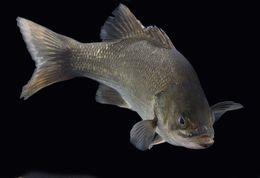 Image of Australian bass