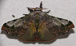 Image of <i>Quentalia ephonia</i> (Stoll 1791)