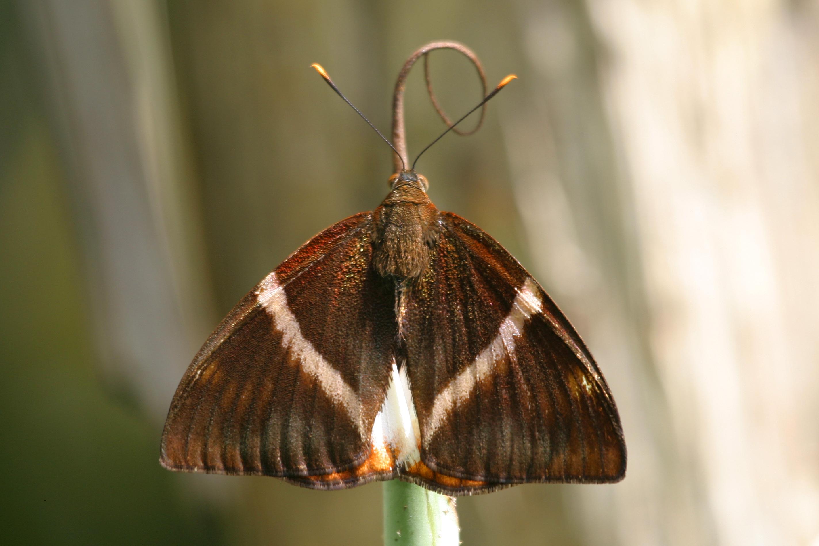 Image of <i>Castniomera drucei</i> Schaus 1911