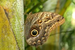Image of <i>Caligo brasiliensis sulanus</i>