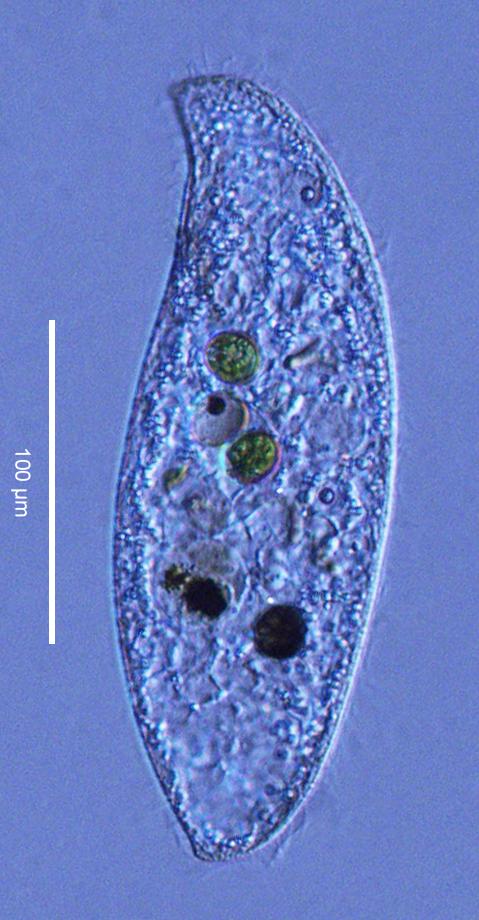 Image of <i>Loxodes striatus</i>
