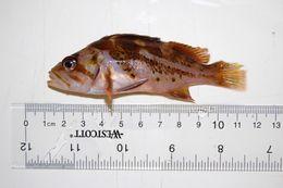 Image of Yellowtail rockfish
