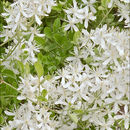 Image of fragrant clematis